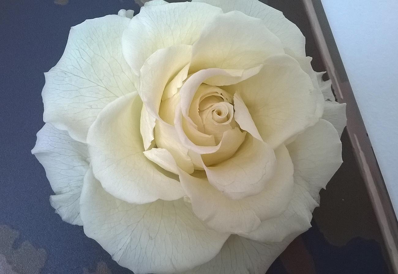 Particolare rosa stabilizzata